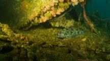 Lingcod Laying Motionless On Deck