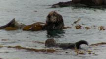 Sleeping Sea Otter Mother And Pup, Pan Down To See 2nd Pup Swimming Towards Mom