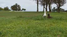 Albatross Chick Taps Parents Beak For Food, Wide Shot, Golf Course
