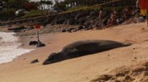 Monk Seal Resting On Sand Behind Sign, Bathers In Distance