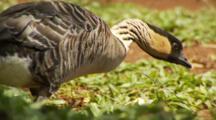 Hawaiian Goose, Nene, Walking, Feeding