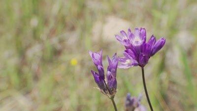 Wildflower,blue dick,long stem,native to California