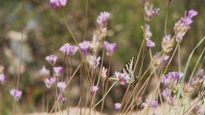 Tiger swallowtail butterfly feeding on blue dick flowers