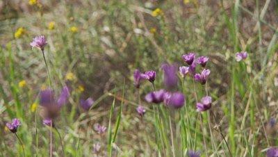 Wildflower,long stem,native to California,slip focus