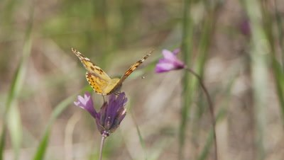 Butterfly,Painted Lady feeds on blue dick flower