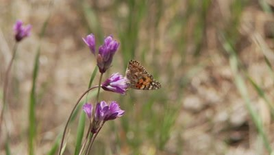 Butterfly,Painted Lady feeds on blue dick flower,flys away