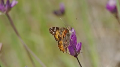 Butterfly,Painted Lady feeds on blue dick flower,opens wings,feeds flies away