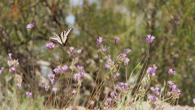 Tiger swallowtail butterfly feeding on blue dick flowers,flies from flower to flower