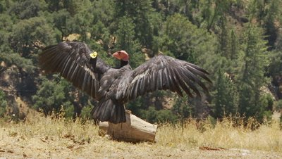 California condor spreads wings to warm itself
