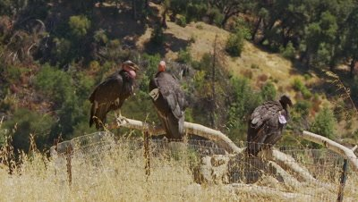 California condor 3 birds on perch,one jumps off