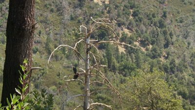 California condor on tree,see 3 birds