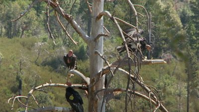 California condor jumps across dead tree branches