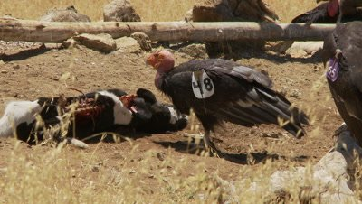 California condor sticks head into carrion to eat