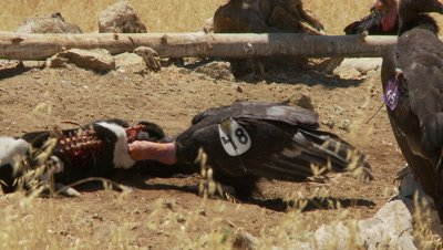 California condor pulls meat out of calf carcuss
