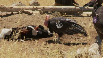 California condor pulls out meat from carcuss,looks at lens