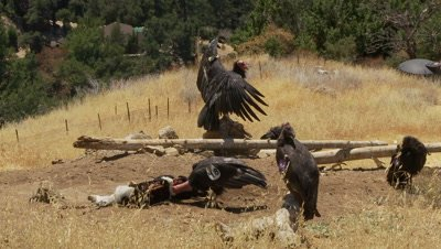 California condor at feeding station,see 4 birds
