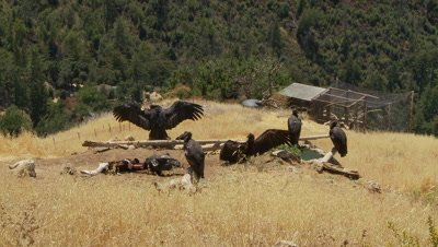 California condor at feeding statin,see 6 birds