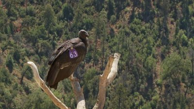 California condor juvenile on perch