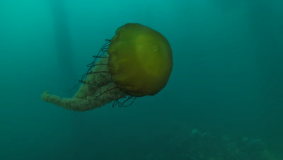 Pacific Sea Nettle Jellyfish,pan as it swims through kelp forest