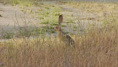 Long Eared Jack Rabbit Feeds