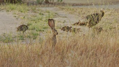 Long Eared Jack Rabbit Feeds,turkeys walk in background