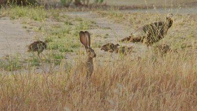 Long Eared Jack Rabbit Feeds,turkeys walk in background