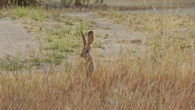 Long Eared Jack Rabbit Feeds