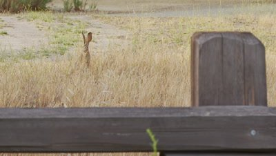 Long Eared Jack Rabbit Feeds,Loose Mid Shot