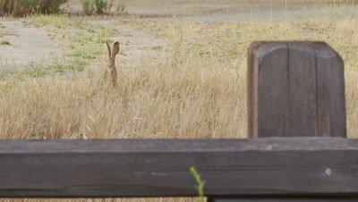 Long Eared Jack Rabbit Feeds,Loose Mid Shot