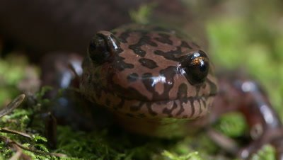 California giant salamander,face close up