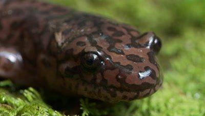 California giant salamander,face close up,side profile