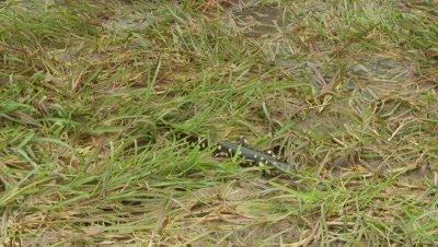 California Tiger Salamander walks along grass