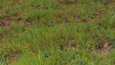 California Tiger Salamander walks quickly across grass