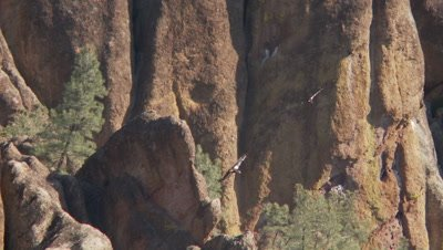 California condor,2 birds soar near pinnacles of mountain