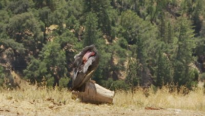 California condor adult resting on log preens under wings