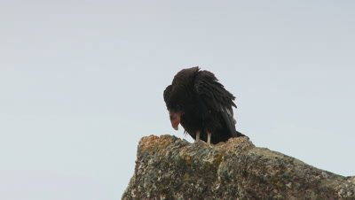 California condor on rock adjusts feet,stands up straight