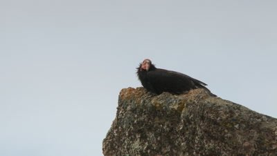 California condor sitting on rock,looking around