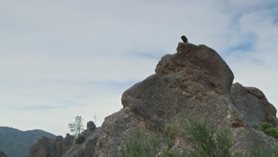 California condor standing on rock sits down,ultra wide