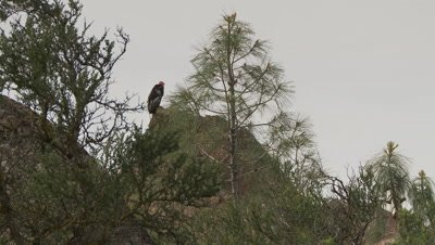 California condor standing on rock beind tree