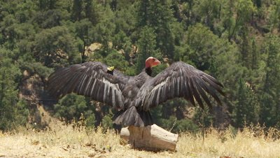 California condor wings spread,closes wings