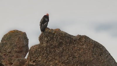 California condor standing on rock,looking around