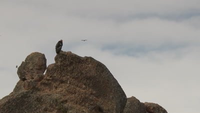 California condor staning on rock,other birds fly overhead