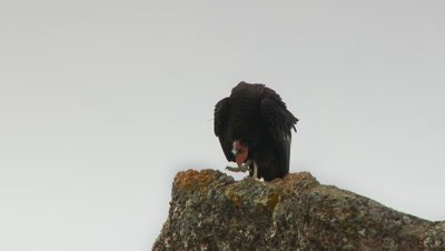 California condor turns on rock,stands up straight,looks at lens