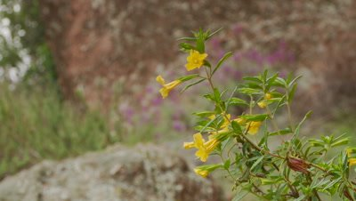 Sticky monkey flower,no bird