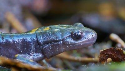 Santa Cruz long-toed salamander