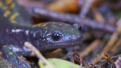 Santa Cruz long-toed salamander close-up face and eyes