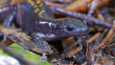 Santa Cruz long-toed salamander,face