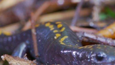 Santa Cruz long-toed salamander,slip focus across its spots