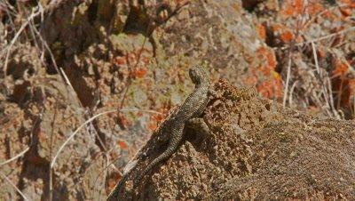 Lizard does territory dance,western fence lizard,blue belly lizard