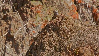 Lizard does mating dance,western fence lizard,blue belly lizard